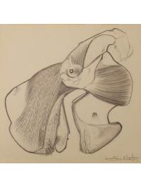 Anatomical Drawing : Dugong by Jonathan Kingdon