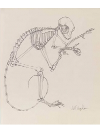 Anatomical Drawing : Galago Skeleton by Jonathan Kingdon