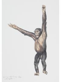 Chimpanzee by Jonathan Kingdon
