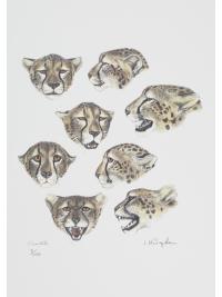 Cheetahs by Jonathan Kingdon