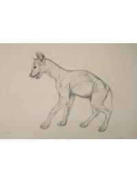 Anatomical Drawing : Spotted Hyena by Jonathan Kingdon