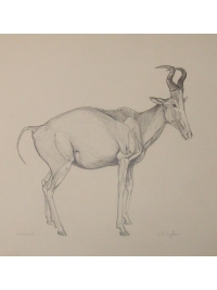 Anatomical Drawing : Lelwel by Jonathan Kingdon