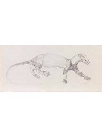 Anatomical Drawing : Spot - necked Otter by Jonathan Kingdon