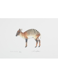 Zebra Duiker by Jonathan Kingdon