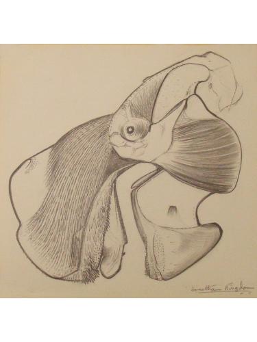 Anatomical Drawing : Dugong