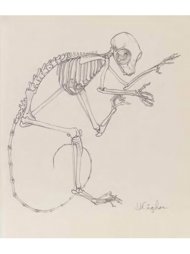 Anatomical Drawing : Galago Skeleton