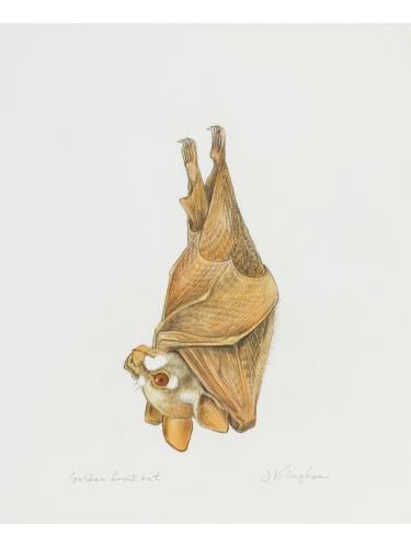 Golden Fruit Bat
