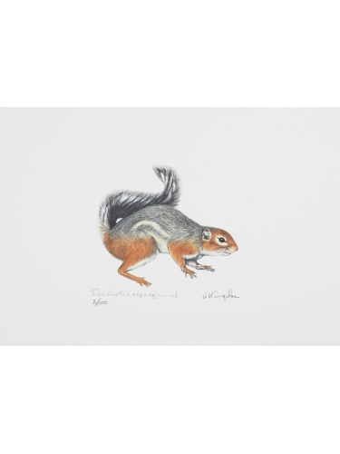 Fire-footed Rope Squirrel