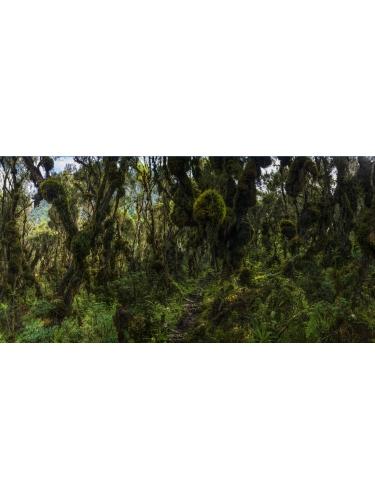 Nyamileju (Forest of Giant Heather)