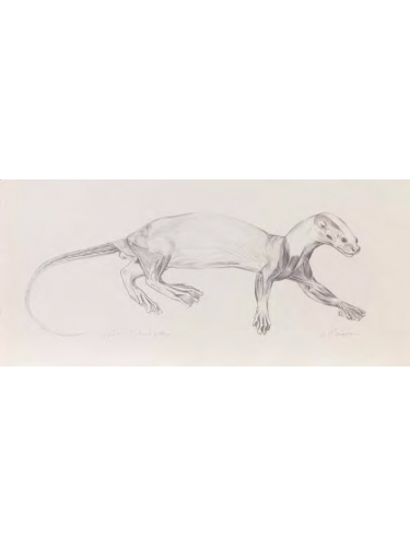 Anatomical Drawing : Spot - necked Otter