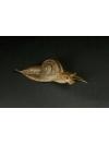 Carinata Snail