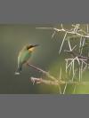 Little Bee-eater by Steve Russell