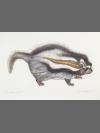 Crested Rat by Jonathan Kingdon